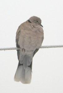 Eurasian Collared Dove-CO_LAH_2386_f