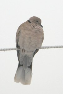 Eurasian Collared Dove-CO_LAH_2386_f