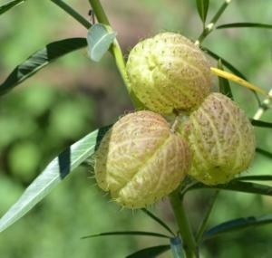 Gomphocarpus physocarpus_Hairy Balls_DBG_LAH_3391