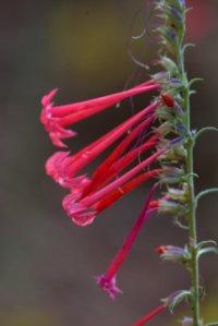 Ipomopsis aggregata_Scarlet Gilia_PikeNat'lForest-CO_LAH_1038