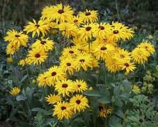 Rudbeckia 'Goldsturm' plant