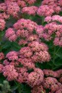 Sedum 'Autumn Joy'_DBG_20090915_LAH_0426