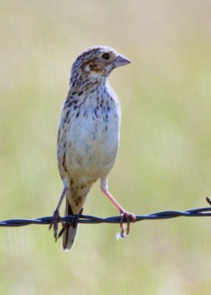 Vesper Sparrow_RamahSWA-CO_LAH_1899-001