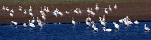 White Pelicans_JumboRes-LoganCo-CO_LAH_2330