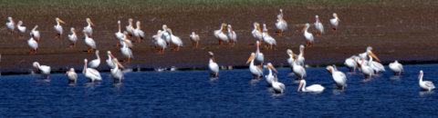White Pelicans_JumboRes-LoganCo-CO_LAH_2330