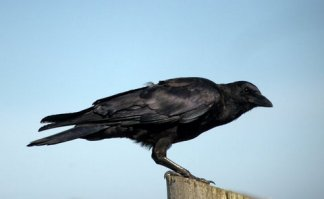 American Crow_BoilerBaySW_DepoeBayOR_20090921_LAH_1266