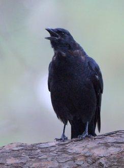 American Crow_PuebloCityPark-CO_LAH_8923