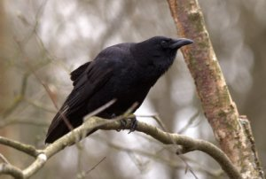 American Crow_WoodlandParkZoo-Seattle-WA_LAH_0005