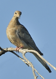 Mourning Dove_6335_filtered