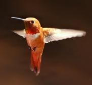 Rufous Hummingbird @home LAH_6896r_filtered