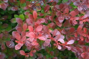 Berberis thunbergii atropurpurea_Red Leaf Japanese Barberry_DBG_LAH_0620