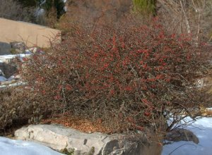 Berberis thunbergii - Japanese Barberry_DBG_10200118_LAH_7051.nef