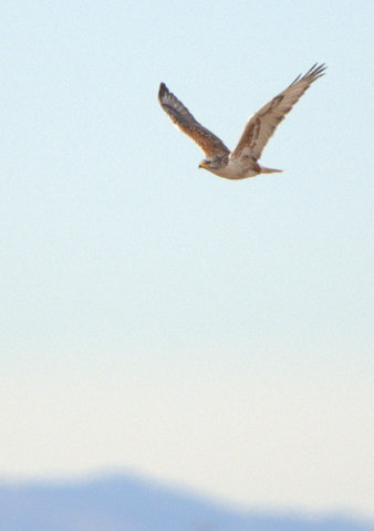 Ferruginous Hawk_E ElPasoCo-CO_LAH_2009