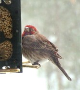 House Finch @BlkFst 2008mar02 LAH 630rc