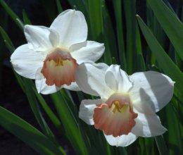 Narcissus_Daffodil_DBG_LAH_2087