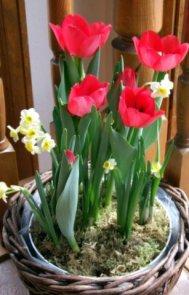 Tulip @houseplant 27mar2006 LAH 2624