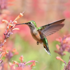 5 x 5 Rufous Hummingbird at Agastache_3613