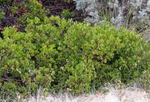 Arctostaphylos patula_Greenleaf Manzanita_DBG_LAH_4029-001