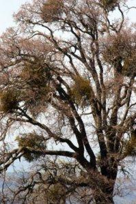 Mistletoe in Oak_MtDiablo-CA_LAH_8868
