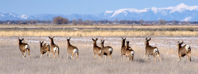 Mule Deer, Monte Vista NWR, Colorado