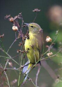 Orange-crowned Warbler_EsteroLlanoGrandeSP-TX_LAH_4420