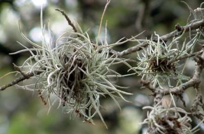 759 Spanish moss starting