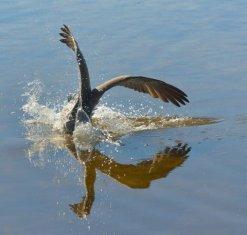 Brown Pelican_DingDarlingNWR-FL_LAH_7136-001