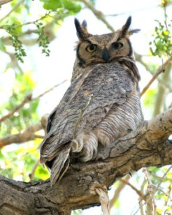 Great Horned Owl_ChicoBasinRanch-CO_LAH_4971