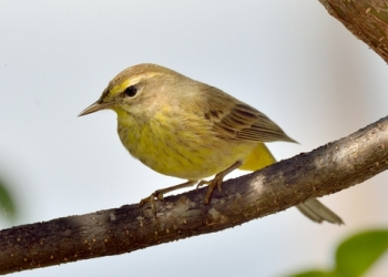 Palm Warbler_SharkValley-EvergladesNP-FL_LAH_6023-001