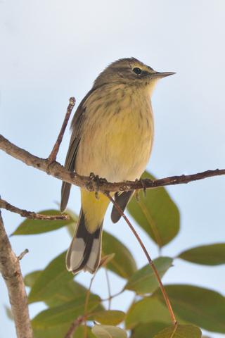 Palm Warbler_SharkValley-EvergladesNP-FL_LAH_6070
