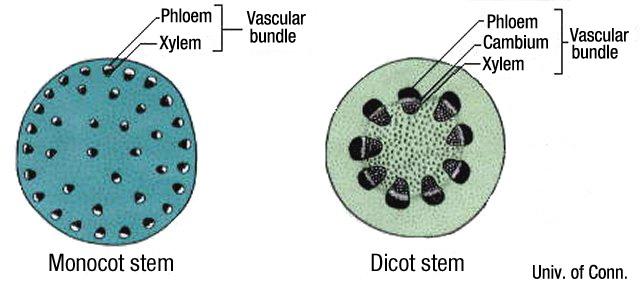 stem cross-sections uconn