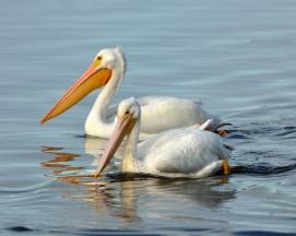 White Pelicans_DingDarlingNWR-FL_LAH_6696_filtered-001