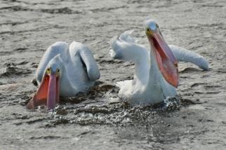 White Pelicans_DingDarlingNWR-FL_LAH_6746
