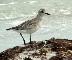 Black-bellied Plover_DingDarlingNWR-FL_0424