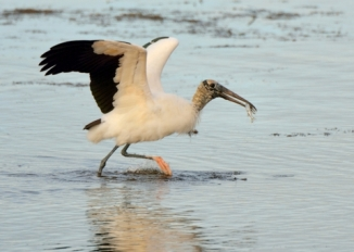 Wood Stork_DingDarlingNWR-FL_LAH_6348