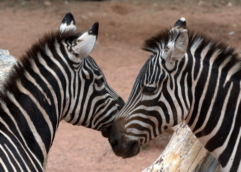 Zebras, Cheyenne Mountain Zoo