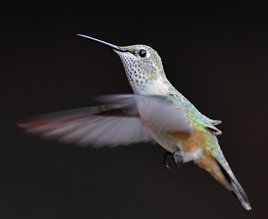 8 x 10 Rufous Hummingbird_BlkForest-CO_LAH_7886_filtered