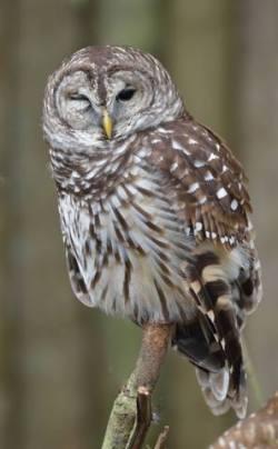 Barred Owl_HomosassaSP-FL_LAH_7890-001