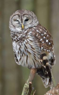 Barred Owl_HomosassaSP-FL_LAH_7890-001