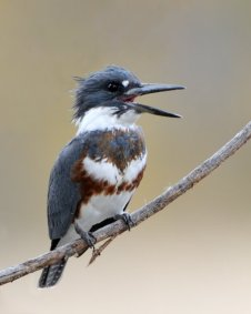 Belted Kingfisher_FCNC-CO_LAH_1319_filtered