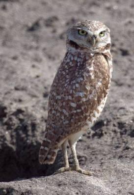 Burrowing Owls_BixleyNWR-CA_LAH_9641