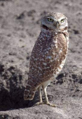 Burrowing Owls_BixleyNWR-CA_LAH_9641