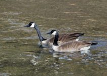 Canada Geese_ElevenmileCyn-CO_LAH_5912-001