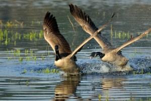 Canada Geese_NisquallyNWR-WA_LAH_0874