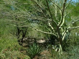 Cercidium  sp. - Palo Verde Tree @PBG 2004apr18 LAH 003