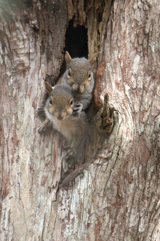 Eastern Fox Squirrels, Lettuce Lake, Tampa, Florida