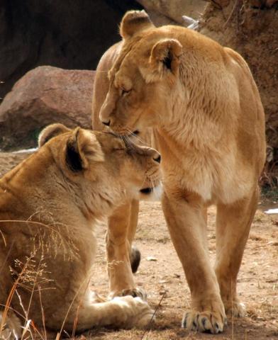 Lionesses, Denver Zoo