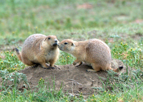 Prairie Dogs, Big Johnson Reservoir, Colorado Springs