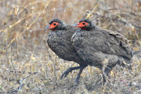 Swainson's Spurfowl, Kruger National Park, South Africa