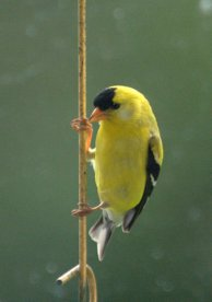 American Goldfinch_Tacoma-WA_LAH_0100